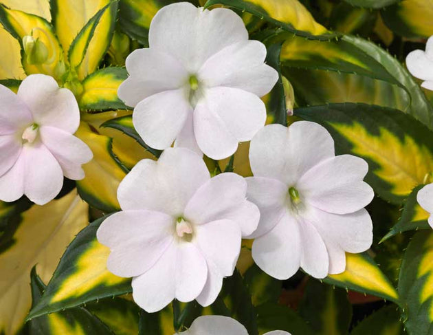 Impatiens Spreading White