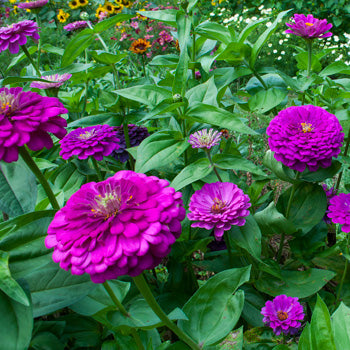"Zinnia ""Giant Purple"""