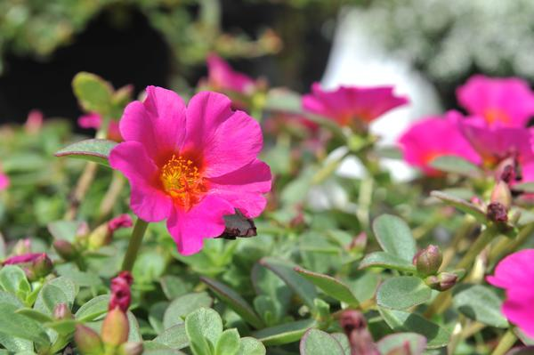 "Portulaca ""Cupcake Grape Jelly"""