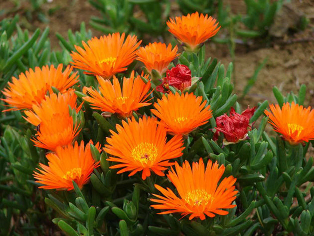 Lampranthus - Red Orange