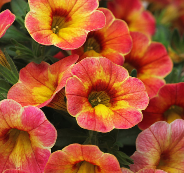 Calibrachoa Chameleon 'Indian Summer'