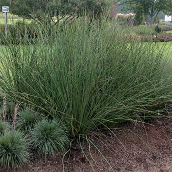 Ornamental Grass Juncus Javelin