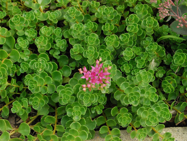 "Sedum ""John Creech"""