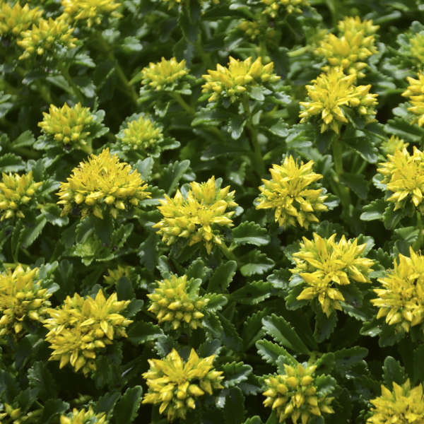 "Sedum ""Little Miss Sunshine"""