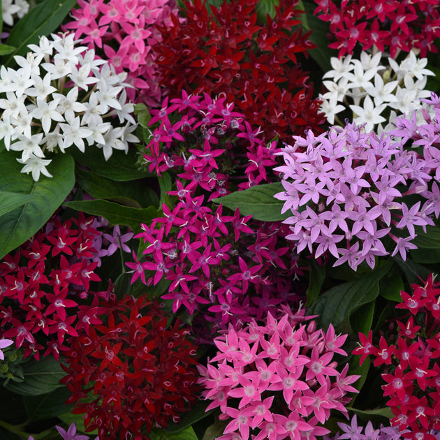 Pentas Lucky Star (2 colors)