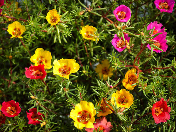 Hanging Basket Portulaca - Mixed Colors