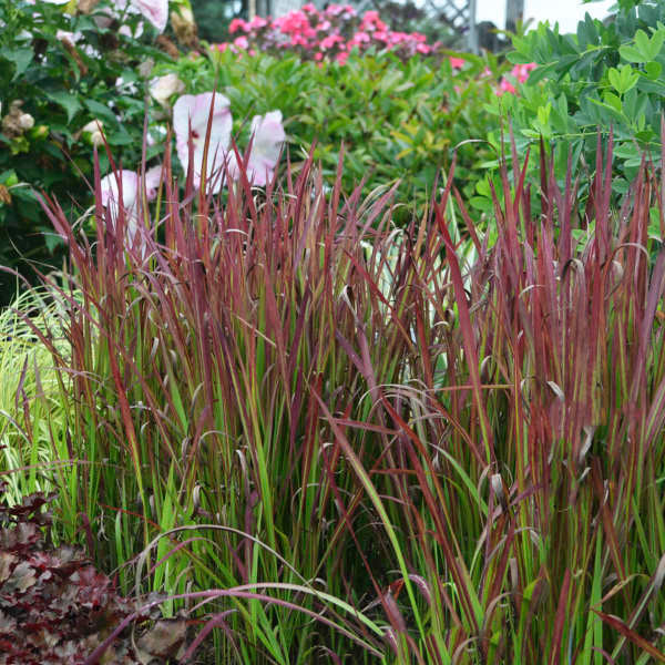 Imperata 'Red Baron' Grass