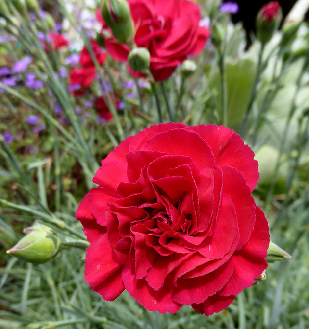 Dianthus 'Ruby's Tuesday'