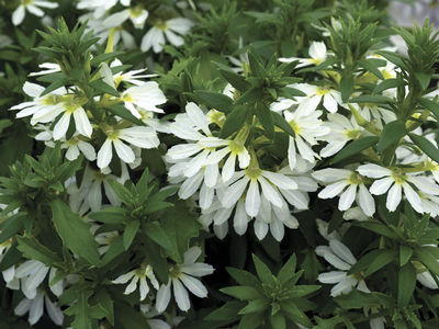 Hanging Basket Scaevola White