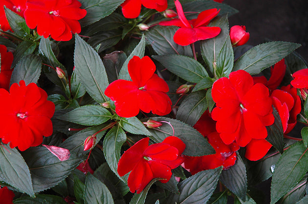Impatiens New Guinea Sonic Deep Red