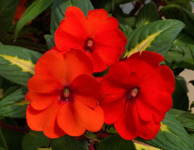 Impatiens Spreading Tropical Orange