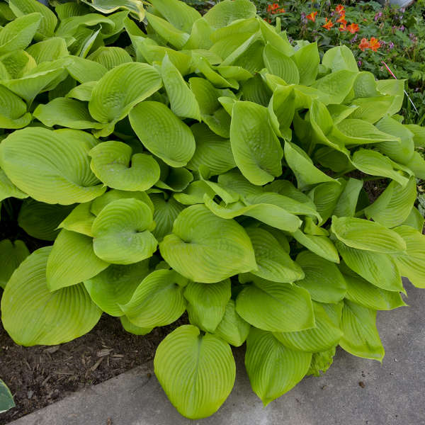 Hosta 'Sum & Substance'