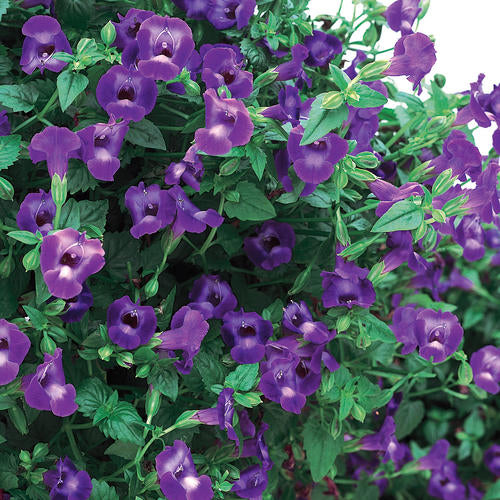 Torenia Summer Wave Large Violet