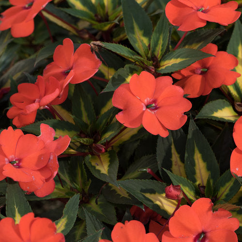 Impatiens SunPatiens - Spreading Tropical Orange