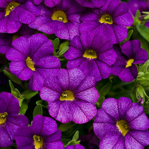 Calibrachoa Superbells - Blue