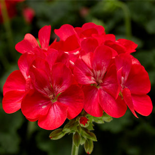 "Geranium Tango ""Orange Ice"""