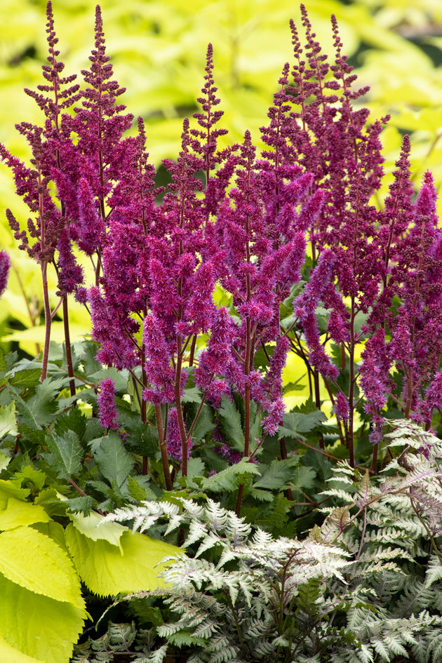 Astilbe Vision Series (2 colors)