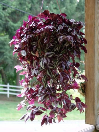 Hanging Basket Wandering Jew
