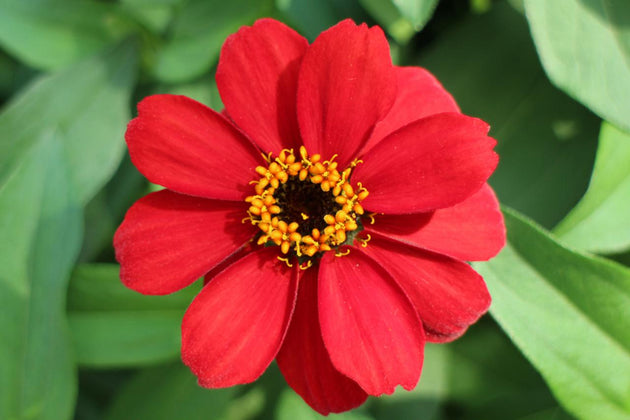 Zinnia Profusion - Red