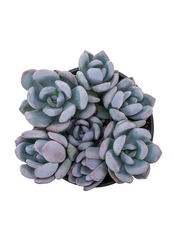 'Powder Puff' succulent