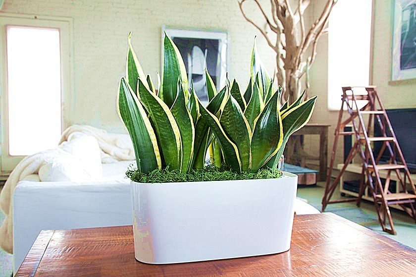 low-maintenance-indoor-plants-interior-home-snake-plant