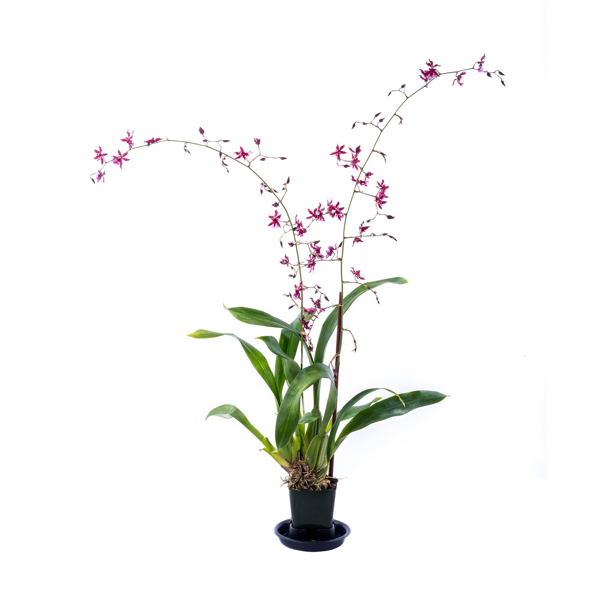 Oncidium - Sharry Baby