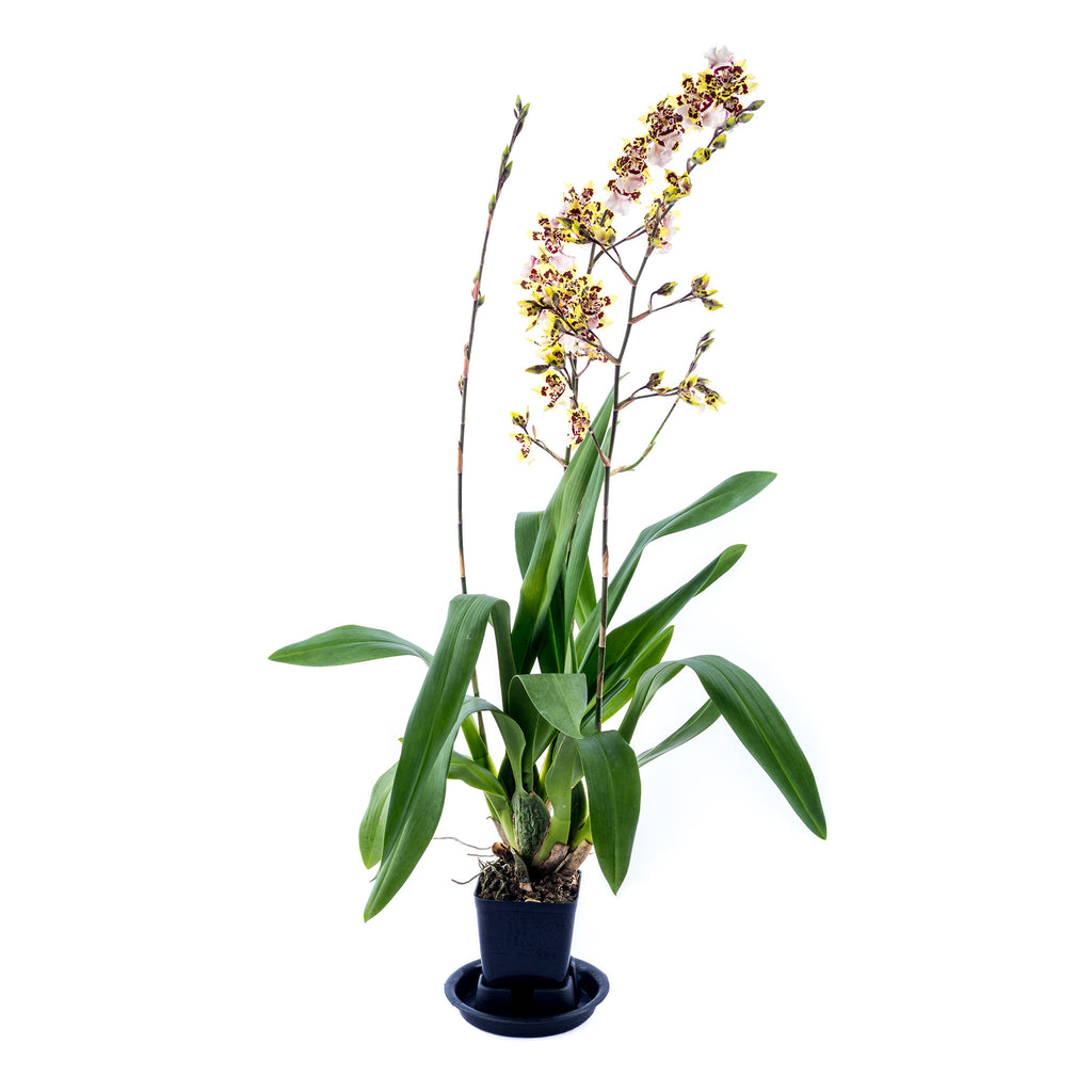 Oncidium - Wild Cat