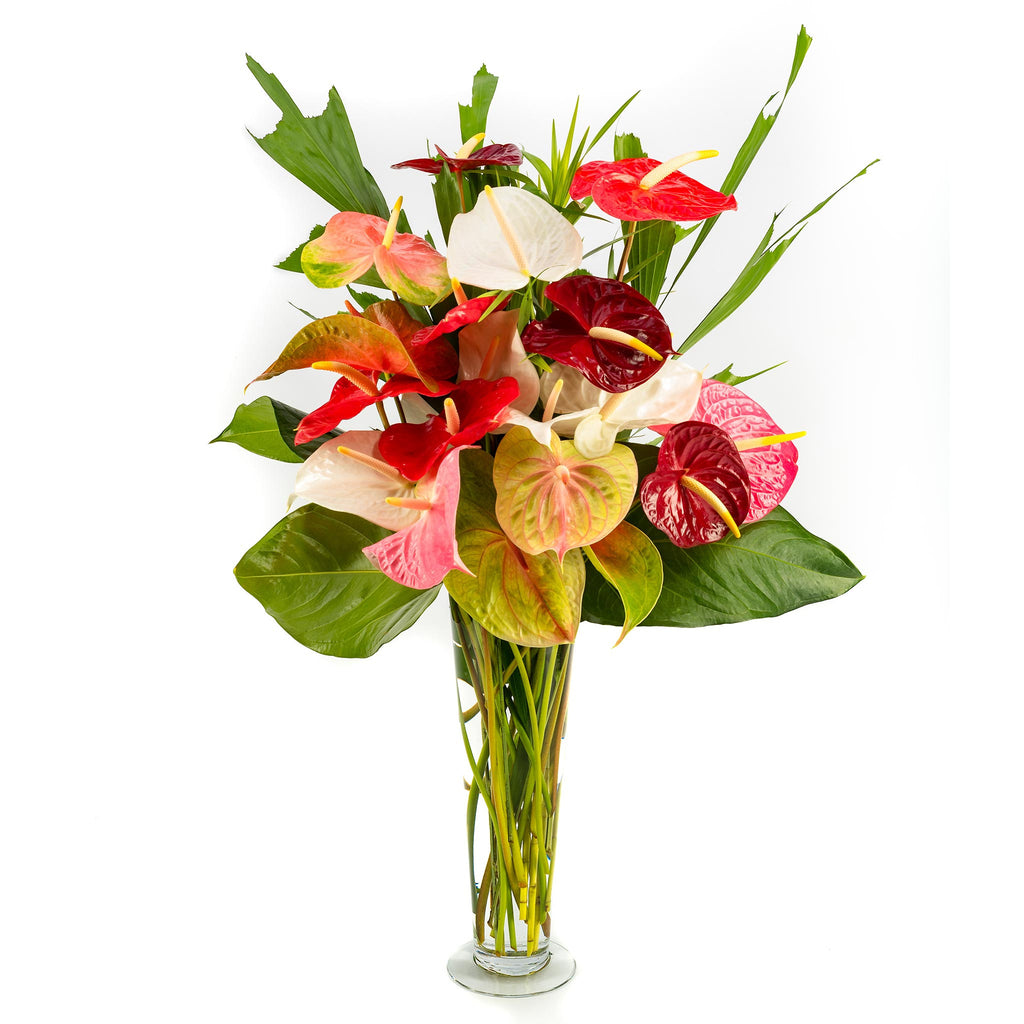 Anthurium Supreme