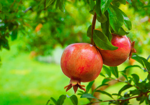 Pomegranate Seed Oil for Beauty