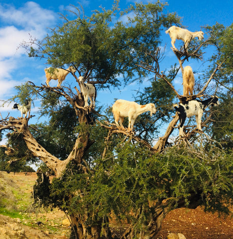 Tree Climbing Goats of Moroccan Argan Forests