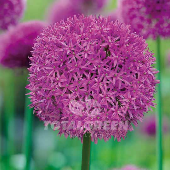 Alliums Aflatunense Flower Bulbs