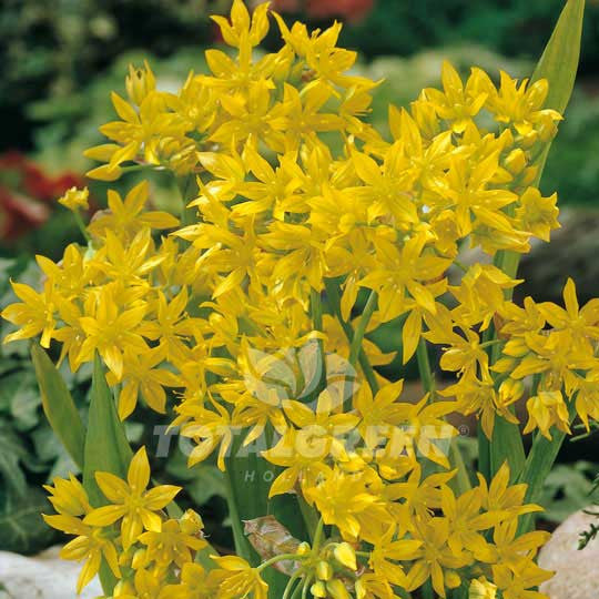 Allium Moly Luteum Flower Bulbs
