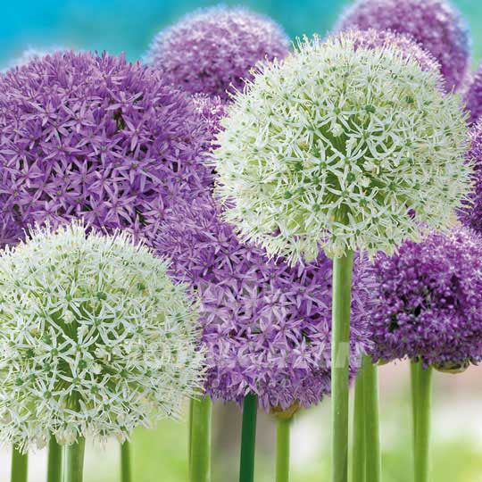 Allium Purple and White Flower Bulbs