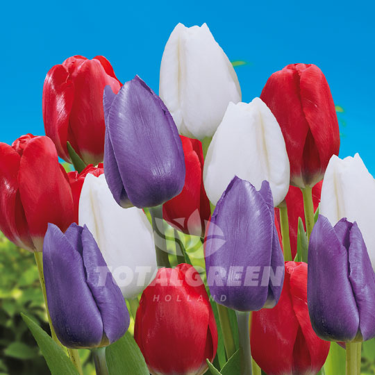 American Flag Tulips