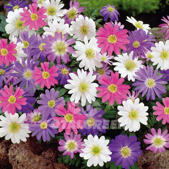 Anemones Blanda Mixed Grecian Windflower - Spring Flowering Flower Bulbs