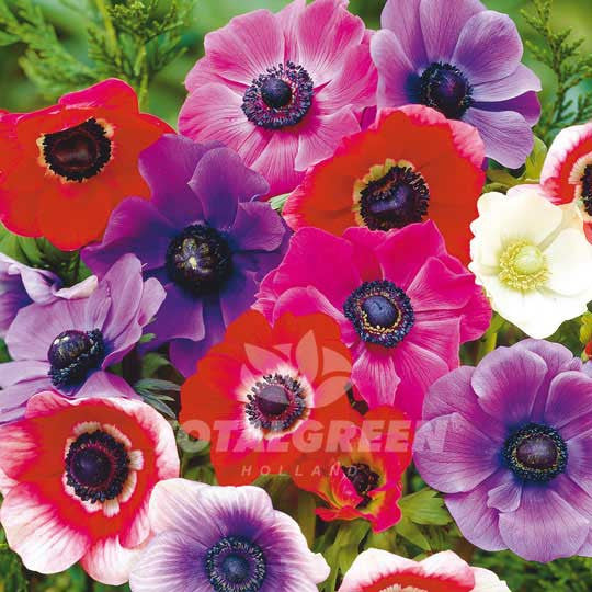 Anemones De Caen Mixed Windflower - Spring Flowering Flower Bulbs