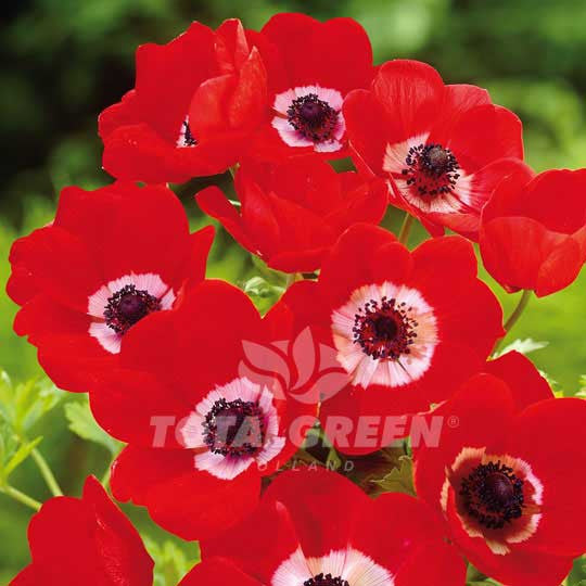 Anemones De Caen Hollandia Windflower - Summer Flowering Flower Bulbs