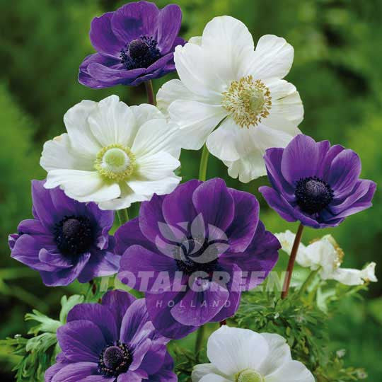 Anemones Blue & White Mixed Windflower - Spring Flowering Bulbs