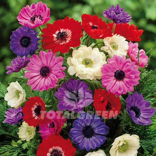 Anemones St Brigid Mixed Windflower Flower Bulbs