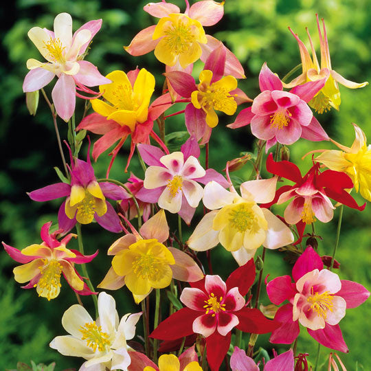 Aquilegia Mckana Giants mix