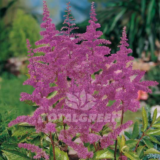 Astilbe False Spirea Purple Flower Bulbs