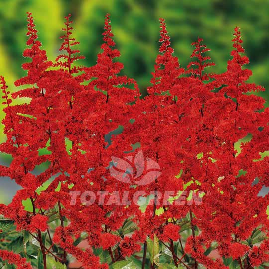 Astilbe False Spirea Red Flower Bulbs
