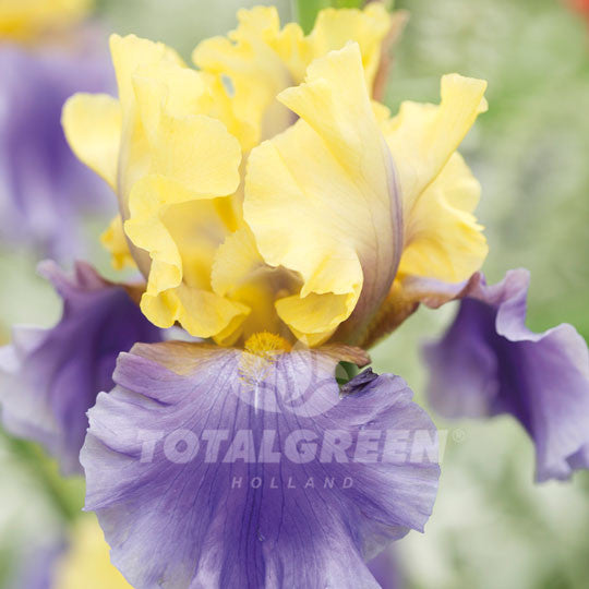Bearded Iris Yellow Blue