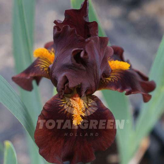 Bearded Iris dark Brown