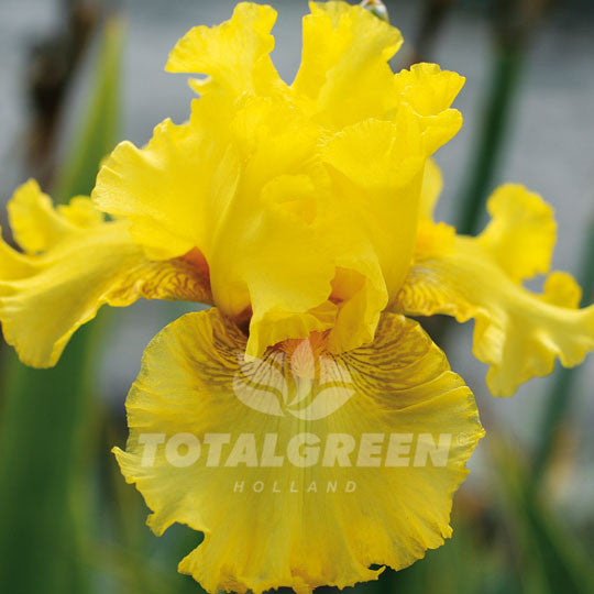 Bearded Iris Yellow