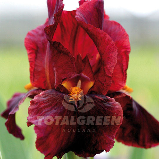 Bearded Iris dark Red