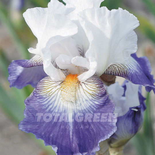 Bearded Iris White Blue