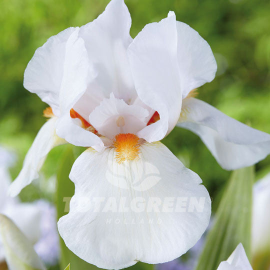 Bearded Iris White