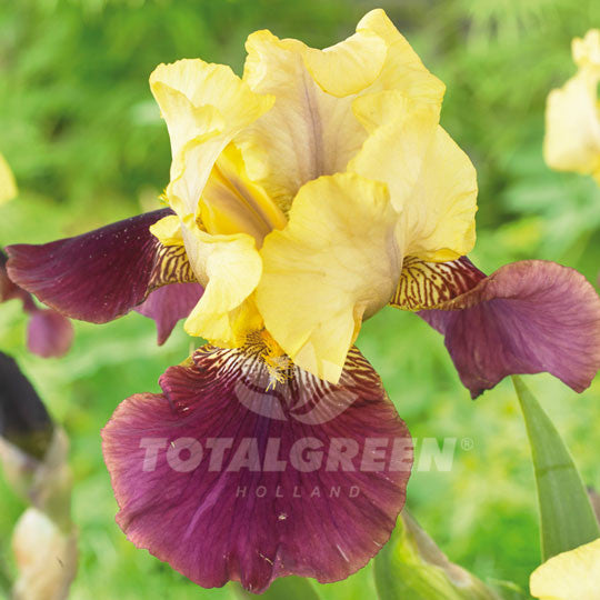 Bearded Iris Yellow and dark Purple