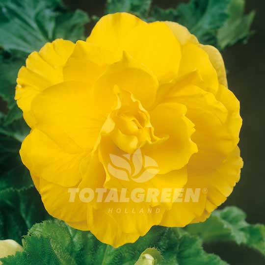 Begonias Double Camelia Yellow Flower Bulbs
